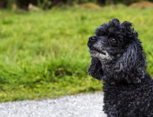 Grooming Tips for Poodles